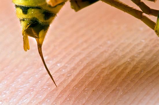На фото показано жало осы - за одно нападение насекомое может использовать его несколько раз.