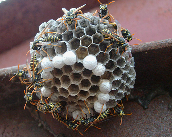 Множественные укусы ос - не редкость, и часто случаются при попытке избавиться от гнезда этих насекомых.