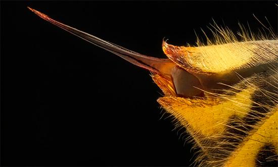 Фотография жала осы при сильном увеличении