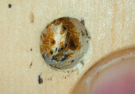 На фото показано гнездо клопов в мебели - видны яйца и личинки паразитов.