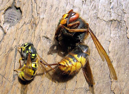 Большинство современных инсектицидов обладают широким спектром действия, почти одинаково эффективно уничтожая ос, шершней, мух, муравьев и многих других насекомых.