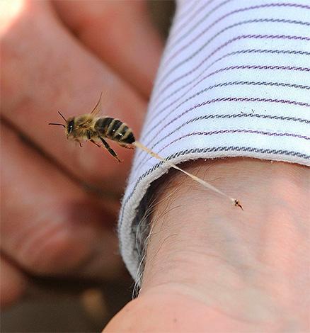 В отличие от шершней и ос, пчела при укусе оставляет свое жало в коже жертвы (вместе с частью внутренних органов).