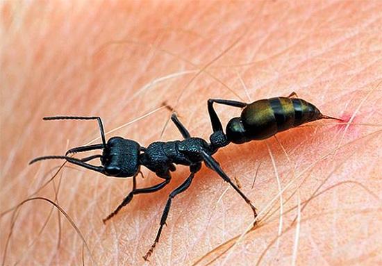 Укусы муравья-пули считаются одними из самых болезненных среди насекомых