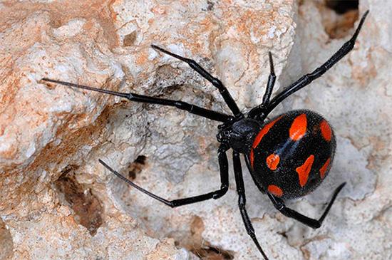 Укусы ядовитого паука каракурта смертельно опасны для человека...