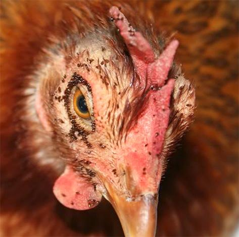 Массовые укусы куриных блок могут приводить к замору птиц.