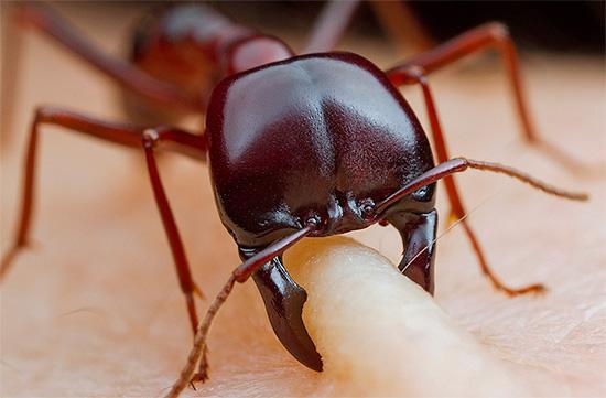 За исключением некоторых жалящих муравьев, укусы этих насекомых обычно оставляют на коже лишь малозаметные следы.