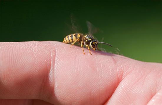 Попробуем разобраться, что собой представляет яд осы, как он действует на организм человека и может ли представлять хоть какую-то пользу для здоровья.
