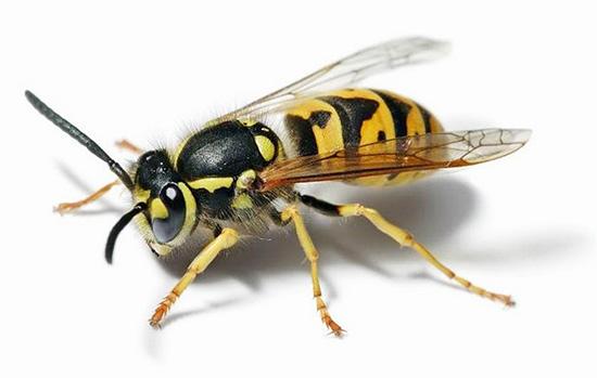 Не исключено, что в будущем осы могут быть полезны и в лечении раковых опухолей...