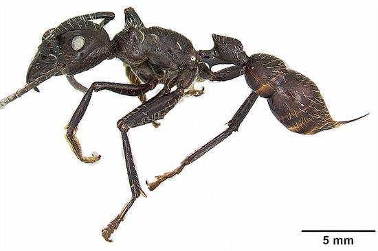 Южноамериканский муравей Paraponera clavata - его укусы считаются одними из самых болезненных среди насекомых вообще.