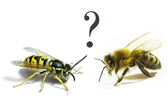 Действие осиного яда во многом схоже с пчелиным, причем настолько, что даже не всегда бывает понятно, какое именно насекомое ужалило...