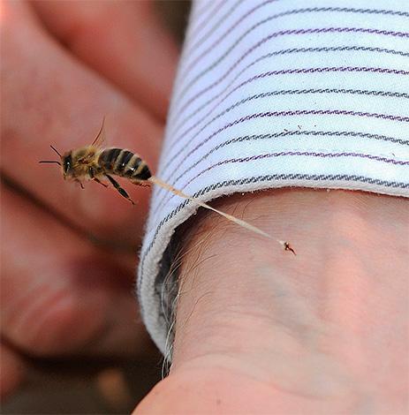 Пчелоужаление считается полезным для здоровья, однако почему-то никто не пытается лечиться осиным ядом.