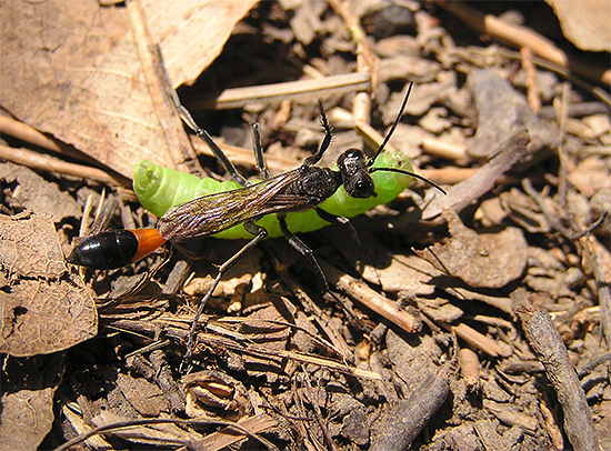 У дорожной осы очень стройное вытянутое тело, что помогает ей залазить даже в узкие отверстия в земле.