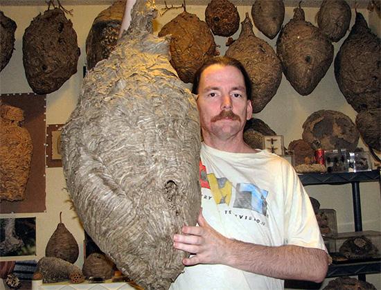 Иногда гнезда шершней достигают действительно огромных размеров...