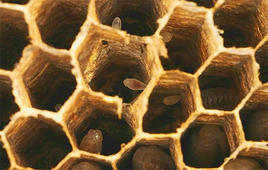 В сотах гнезда видны яйца ос.
