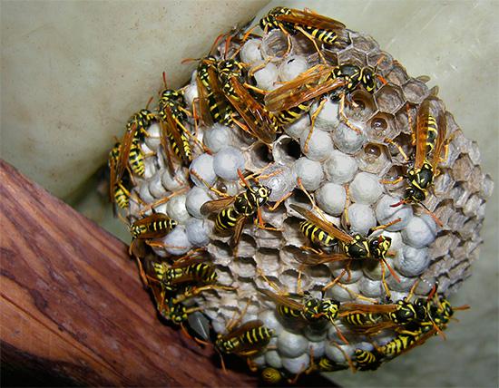 В отдельных ячейках осиного гнезда хорошо видны личинки этих насекомых.
