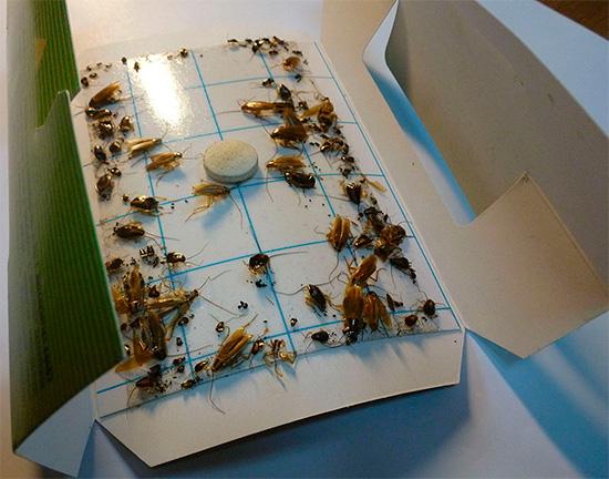 На фото - клеевая ловушка с попавшими в нее тараканами.