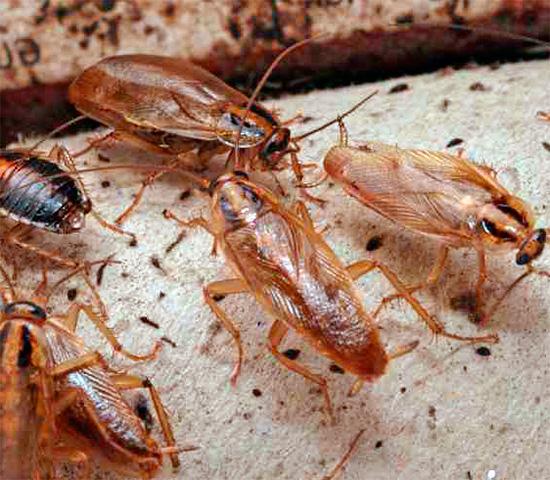 Когда морите тараканов, особое внимание нужно обращать на места возможного скопления насекомых и пути их перемещения.