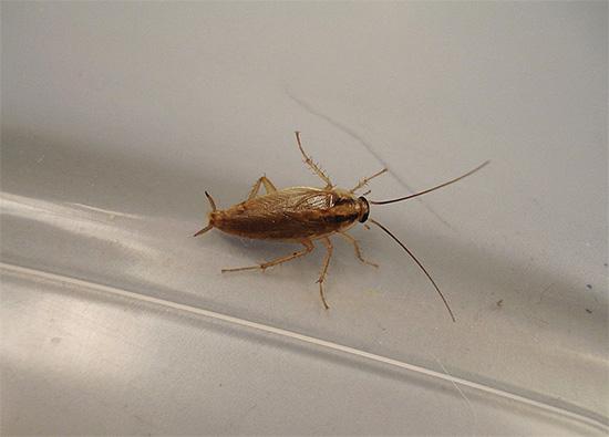 При небольшом количестве тараканов в помещении уничтожить их можно, например, путем грамотной комбинации инсектицидного геля и ловушек.
