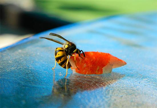 Если посыпать отравой кусочки мяса, то осы еще и унесут их в гнездо, где накормят матку и личинок.