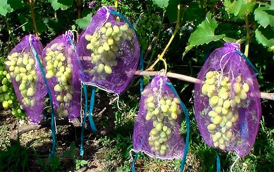 Густая сетка не ограничивает гроздь при росте и одновременно защищает виноград от порчи осами.