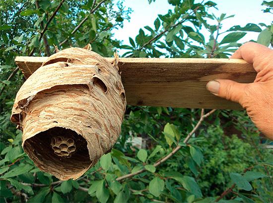 Если известно местонахождение осиного гнезда, то его нужно уничтожить в первую очередь.