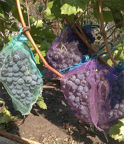 Сеточные мешочки позволяют надежно защитить виноград от ос, однако такой метод защиты урожая является весьма трудоемким.