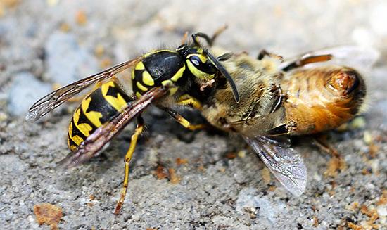 Поговорим о том, как нужно правильно бороться с осами, чтобы защитить пасеку от их нападений и спасти пчелиные семейства целыми и невредимыми...