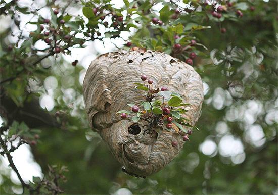 Для защиты пасеки от ос полезно убедиться, что в ближайшей лесополосе нет осиных гнезд.
