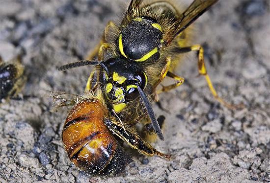 Массово уничтожая пчел, осы могут нанести весьма значительный ущерб пасеке.