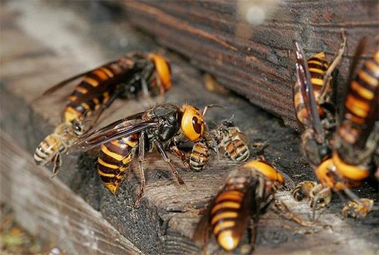 На фотографии показано, как несколько крупных шершней атаковали пчелиную семью и пытаются пробраться в улей.