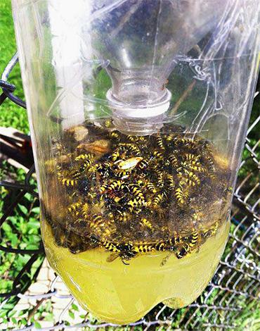 Простая ловушка для ос из пластиковой бутылки, заполненная мертвыми насекомыми.