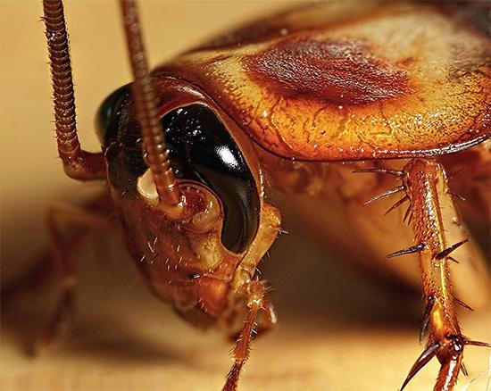 Тараканы не нападают на человека целенаправленно, но способны кусать спящих людей во сне, объедая частички кожи вокруг губ, на пальцах и т.д.
