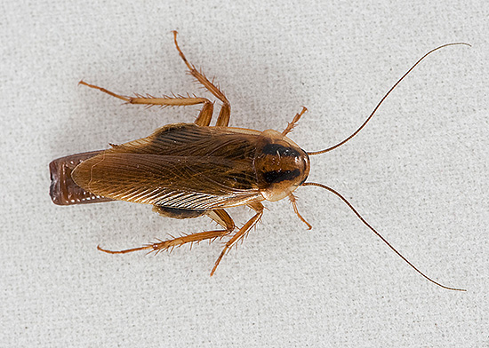 Некоторые люди до сих пор считают наличие тараканов в квартире явлением нормальным, само собой разумеющимся...