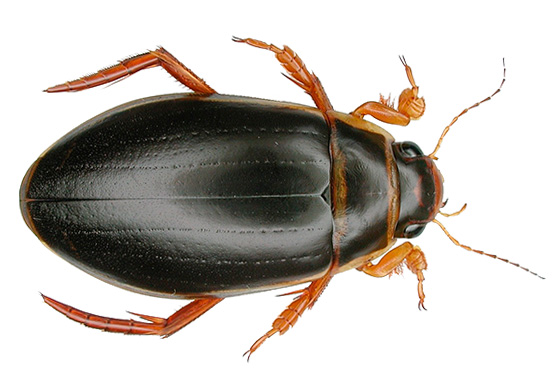Жука-плавунца многие могут принять за водоплавающего таракана-мутанта с жабрами.