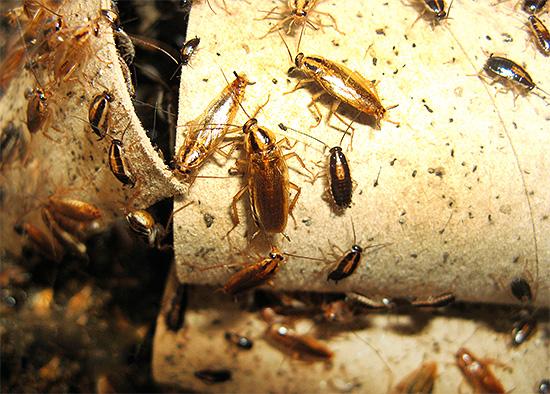Зачастую жильцы помещений попросту не хотят тратить силы на уничтожение тараканов, так как считают, что вред от их присутствия невелик и опасности они не представляют.