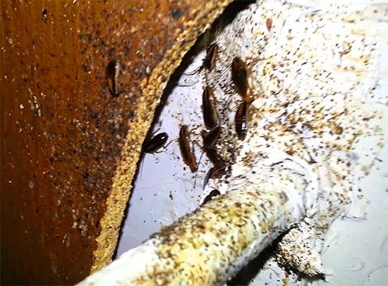 Бегая в канализациях, мусоропроводах и подвалах, насекомые контактируют с самыми различными нечистотами...