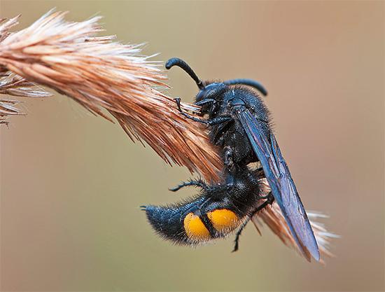 А вот одиночные осы, к которым относится сколия, убивают своих жертв именно жалом.