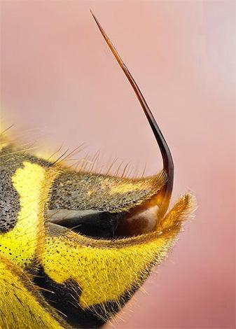 В отличие от пчелиного жала, осиное имеет практически гладкие стенки.