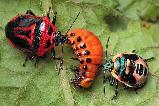 Клоп периллюс двухвековой является естественным врагом колорадского жука.