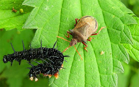 Клоп пикромерус поедает самых различных гусениц, тем самым спасая от них растения.