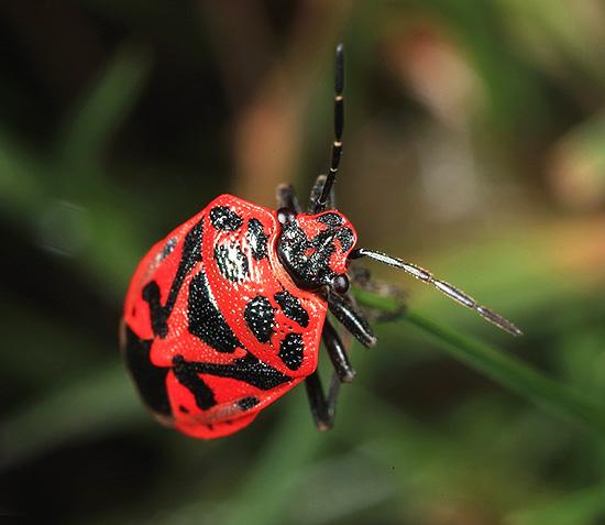 Показанное на фотографии насекомое тоже вполне может быть названо огородным клопом.