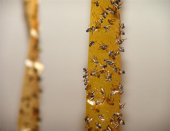 В ресторанах и кафе использование липких лент от насекомых нецелесообразно из-за неэстетичности.
