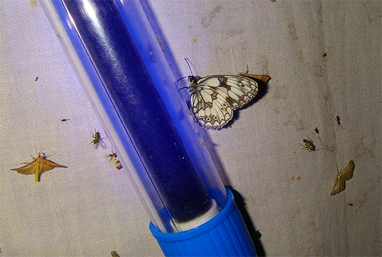 Ультрафиолетовый свет привлекает большое количество летающих насекомых.