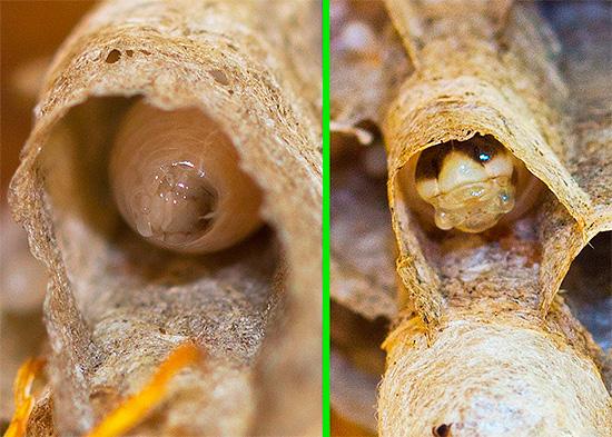 Голова личинки осы на разных этапах развития.