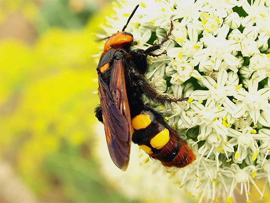 Крупная оса-сколия (на фото) не устраивает гнезд для своих личинок.