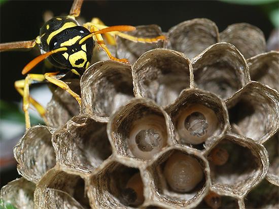 Взрослая оса подлетела к гнезду для кормления личинок.