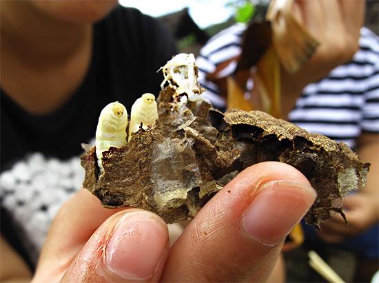 В некоторых странах должным образом приготовленные личинки ос являются популярным блюдом.