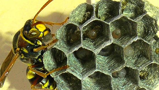 В ячейках сот видны личинки ос на ранней стадии развития.