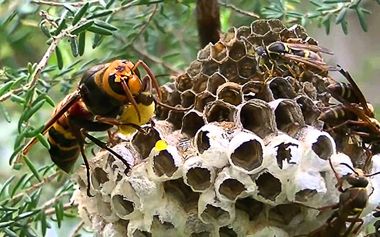 На фото показано, как крупный азиатский шершень поедает личинок ос прямо в их гнезде.