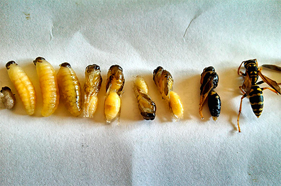 На этой фотографии можно проследить цикл превращения личинки осы во взрослое насекомое.